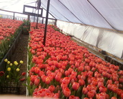 Продаю цветы тюльпана к 8-му Марта,  оптом.