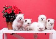 Шотландские котята колорного окраса