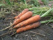 Продам морковь оптом (от 1 т.)