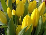 Продаю тюльпаны оптом по хорошим ценам