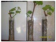 Принимаем заказы на саженцы винограда с закрытой корневой системой