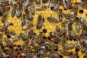срочно продаю пчелопакеты