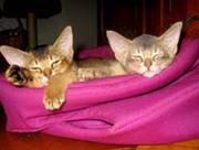 Питомник кошек Exclusive ABY - абиссинские кошки и котята.