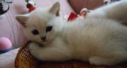 Прекрасный британский котёнок окраса серебристая шиншилла.