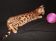 бенгальские котята с подарком