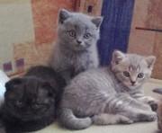шотландские прямоухие котики