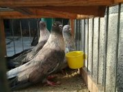 Продам голубей и декоративных птиц