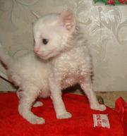 купить котенка  неаллергенные кошки
