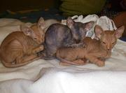 Чудесные котята породы Донской сфинкс
