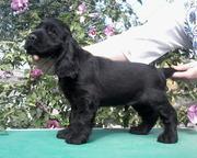 Предлагаются к продаже щенки английского кокер спаниеля.