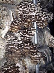 Семена  для выращивания грибов.